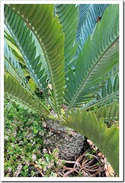 121228_UCBotGarden_Encephalartos-horridus-x-longifolius_04
