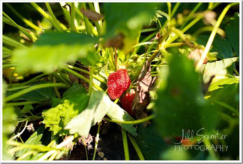 strawberryfields-4913