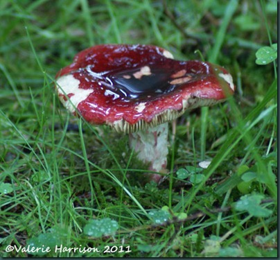 3-red-toadstool