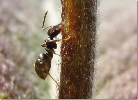 20130518 WBX Lasius niger minim 1