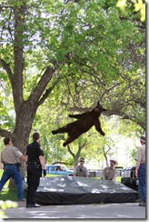 bear-tranquilized