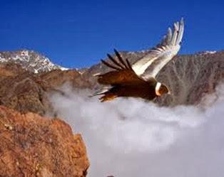 Amazing Pictures of Animals, Photo, Nature, Incredibel, Funny, Zoo, Andean Condor, Vultur gryphus, bird, Alex (18)