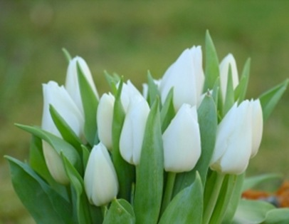 1382137_white_tulip
