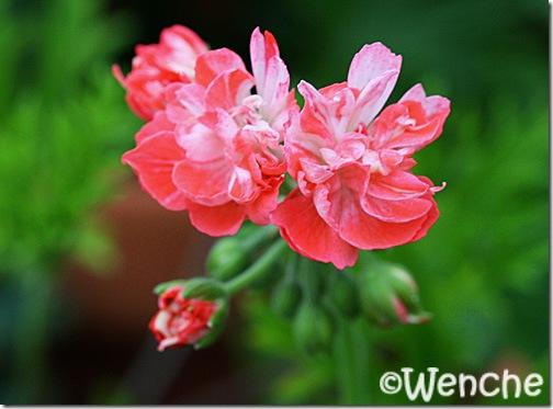 PelargoniumDon-Chiverton