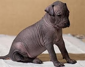 Amazing Pictures of Animals, Photo, Nature, Incredibel, Funny, Zoo, Dog, Mexican Hairless Dog, Xoloitzcuintle, Mammals, Alex (20)