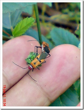 Bapak Pucung (Red Cotton Bug) Kawin