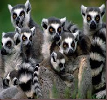 Amazing Pictures of Animals photo Nature exotic funny incredibel Zoo Lemur. Alex (9)
