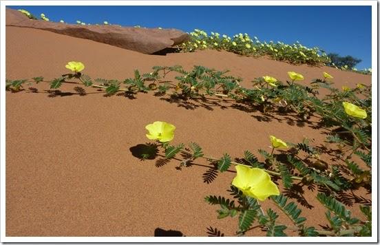 wild-desert-flowers