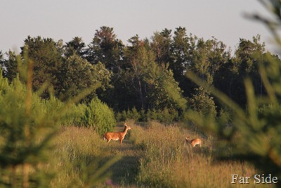 Deer in the tree farm