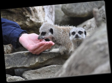 Meerkats next to Paul's hand (resized) DSC_1124
