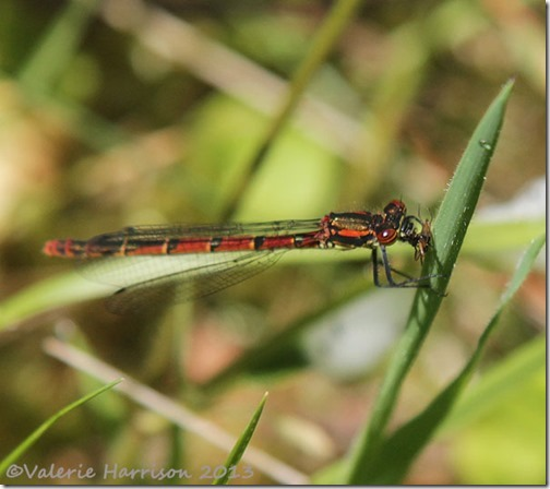 20-large-red-damselfly