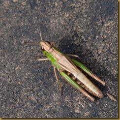 Grasshopper, Stenobothrus lineatus