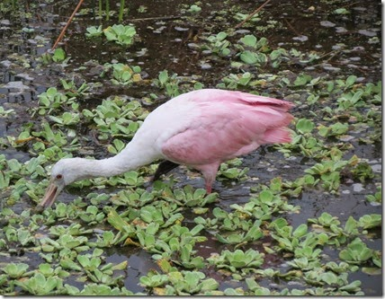ft_desoto_celery_fields_spoonbill