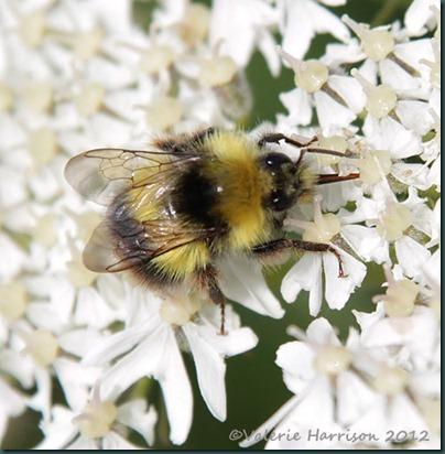 76-early-bumblebee