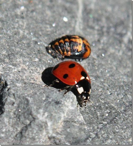 7-7-spot-ladybird