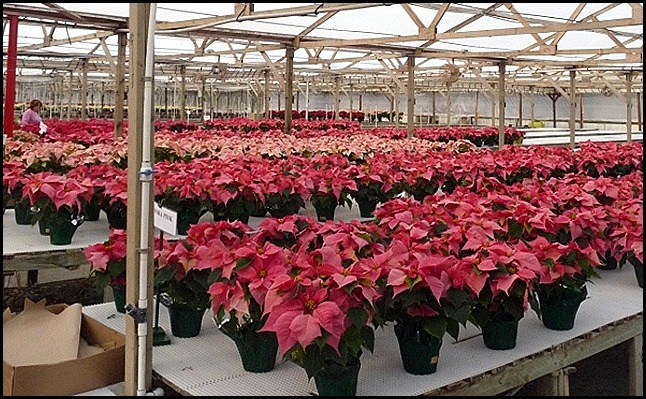 poinsettia farm2011 010 (600x800)