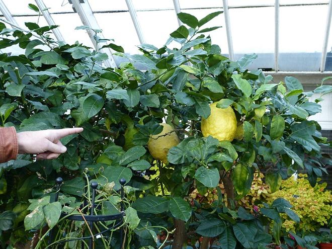 Ботанический сад в Бирмингеме, гигантские лимоны