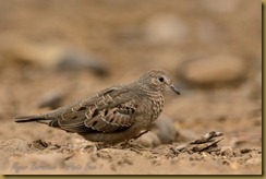 Common Ground Dove (Columbina passerina)
