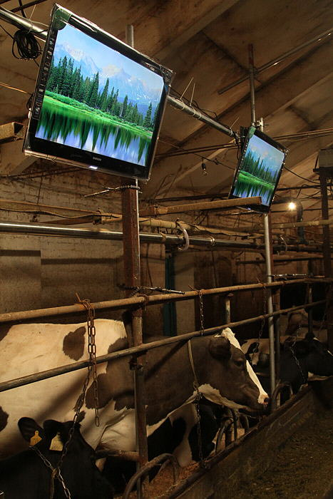 Cows watching LED TVs :)