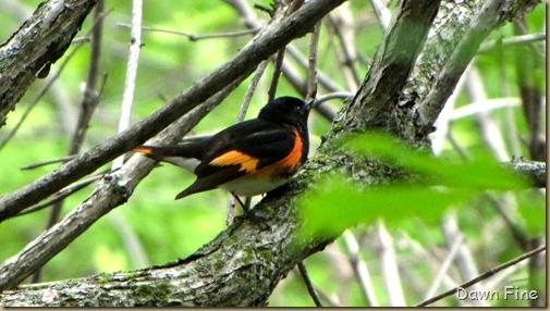 American Redstart (1)