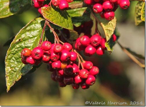 4-Cotoneaster-berries