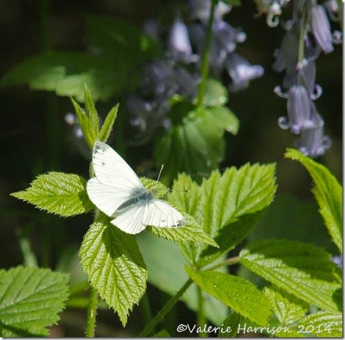20-butterfly