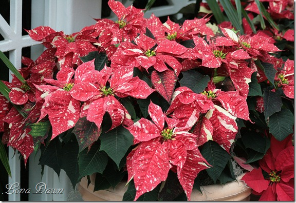 Poinsettia_Peppermint_Dec2