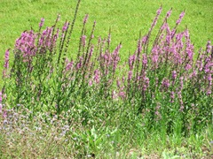 Deplasito bog..purple weed