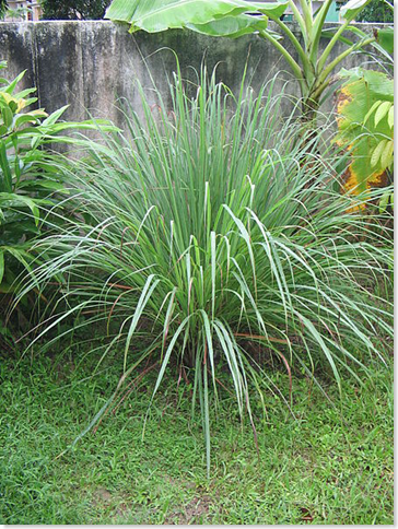 Lemon grass (Cymbopogon) plant