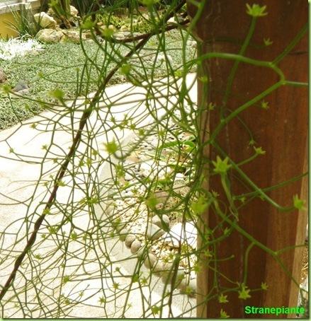 Bowiea volubilis con fiori