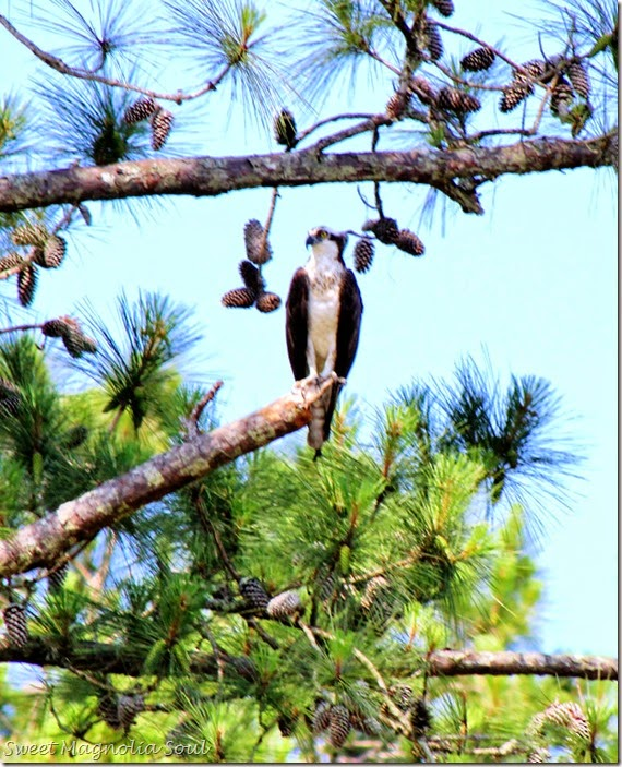 osprey1 E