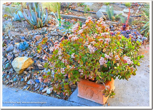Plant of the week: Crassula ovata