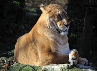 Amazing Pictures of Animals, photo, Nature, exotic, funny, incredibel, Zoo, Liger, Hybrid, Alex (10)