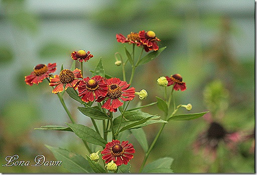 Heleniums_July29