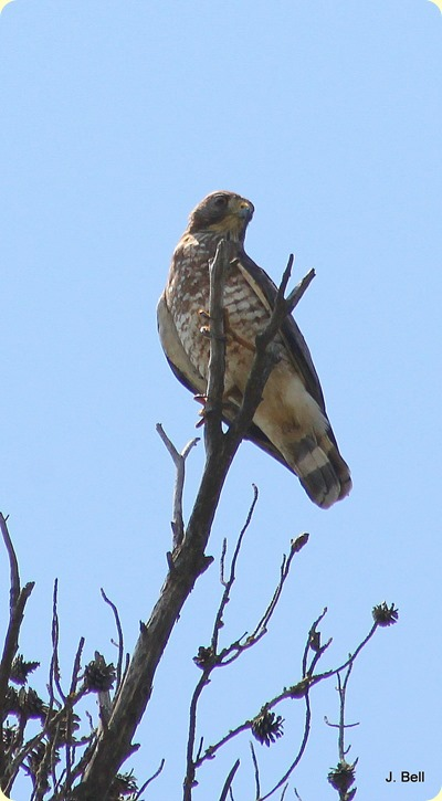 Boad-winged Hawk
