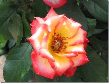 Portland Rose Garden, 2012
