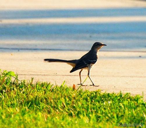 4. Mockingbird-kab