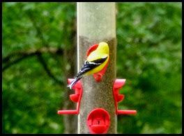 01e - Morning walk - Yellow Bird