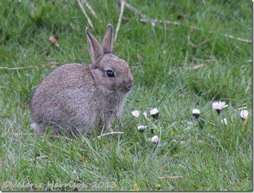 rabbit-5
