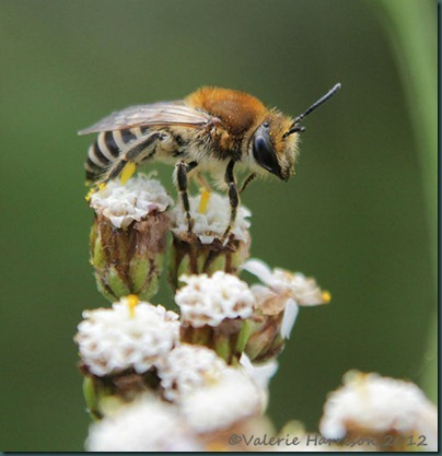 bee colletes -4