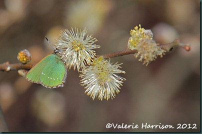 11-green-hairstreak