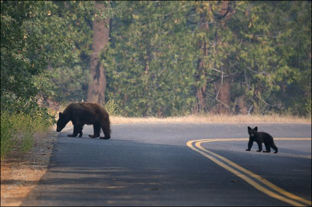A bear and a cub cross a road in Yosemite National Park in August 2013, a sight being repeated during the warm winter of 2013/2014. With winter conditions hardly wintry this year, some bears are finding little reason to hibernate. Photo: Justin Sullivan / Getty Images