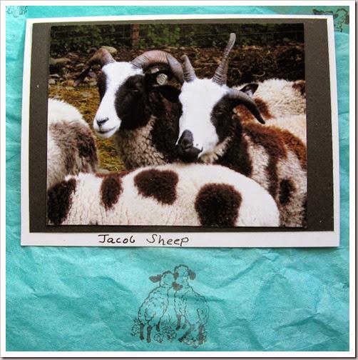 11-04-jacob-sheep