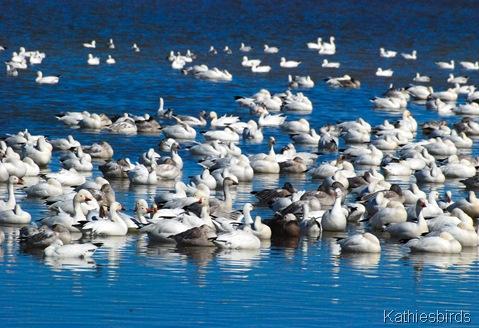 13. snow geese-kab