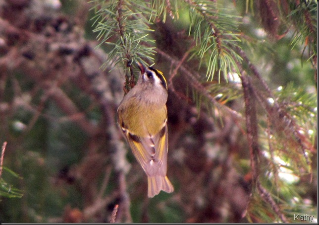 Acobatic Gold Crowned Kinglet