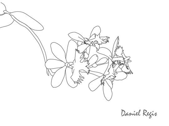 Epidendrum denticulatum traços