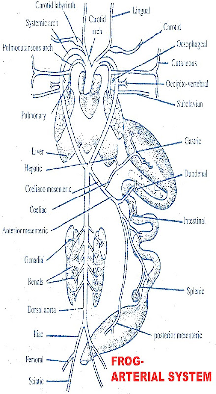 frog-arterial-system