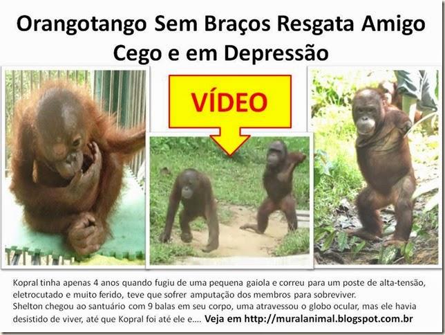 Orangotango Sem Braços Resgata Amigo Cego e em