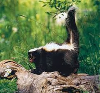 Amazing Pictures of Animals, Photo, Nature, Incredibel, Funny, Zoo, Skunks, Polecats, Mammals, Alex (8)