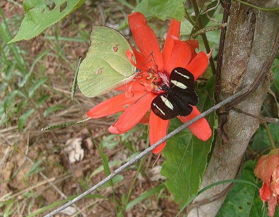 Anteos menippe (HÜBNER, [1818]) et Heliconius sara apseudes (HÜBNER, [1813]). Colider (Mato Grosso, Brésil), janvier 2011. Photo : Cidinha Rissi